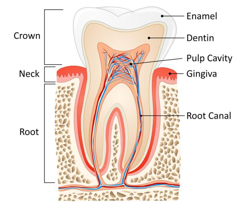 Image of the inside of a tooth | Hermitage, PA | Thomas Family Dentistry